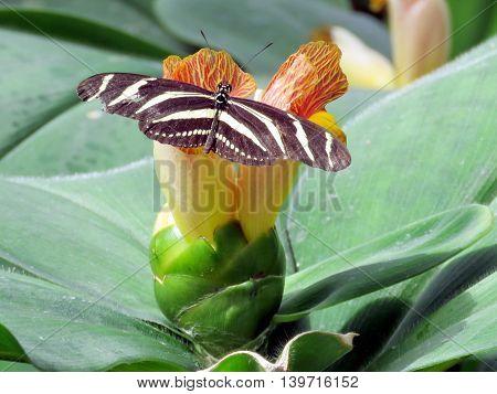 Zebra Longwing butterfly on a flower in garden of Niagara Falls Ontario 16 July 2016 Canada