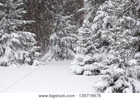 March snowstorm with snow laying on pinetrees in Wisconsin.