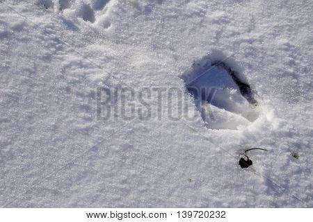 The footprint of a migrating Canada goose (Branta canadensis) on newly fallen snow in Joliet, Illinois.
