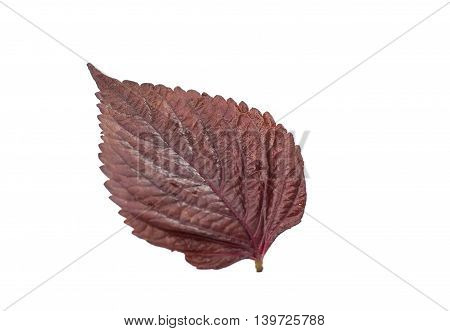 red purple basil isolated on white background