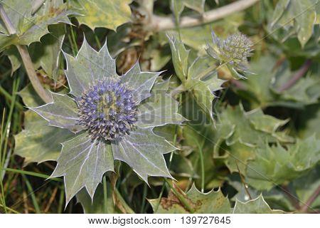 Sea Holly - Eryngium maritimum Prickly Flower of Sea Shore