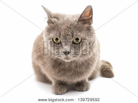 beauty gray cat isolated on white background