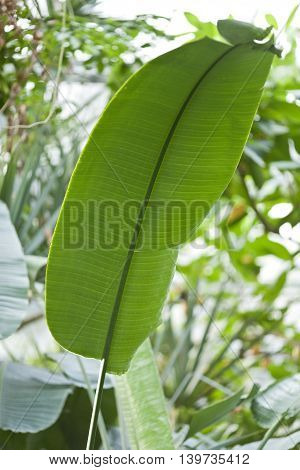 single banana leaf outdoor, in bright light