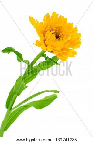 Marigold Flower - Beautiful Calendula officinalis Isolated on White Background. Top view