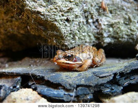 Small Frog on the rocks toad amphibia animals wild nature color brown cold blooded closeup benefit season summer