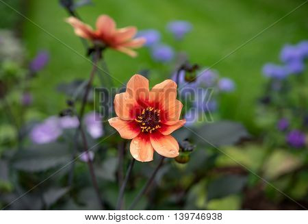 Orange flowers with water droplets in Germany