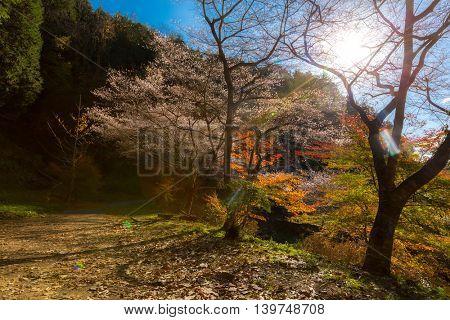 Nagoya, Obara. Autumn Landscape with sakura blossom. Shikizakura kind of sakura blooms once in spring, and again in autumn.