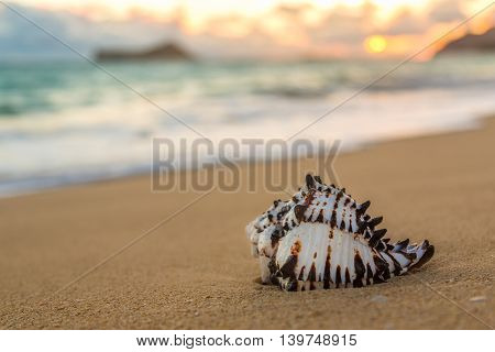 Conch Shell At Sunrise