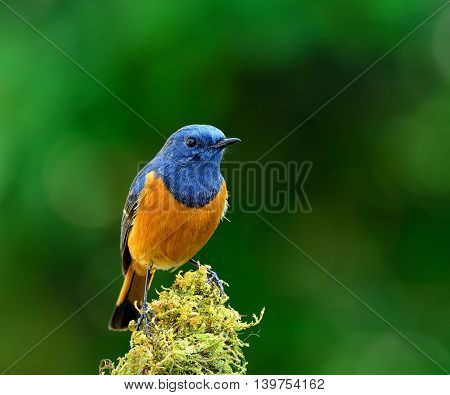 Beautiful Blue Bird, The Blue-fronted Redstart (phoenicurus Frontalis) Standing On The Moss Branch