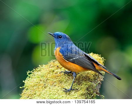 Beautiful Blue Bird, The Blue-fronted Redstart (phoenicurus Frontalis) Standing On The Mossy Ground