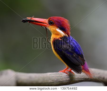 Black-backed Kingfisher (ceyx Erithaca) A Vivid Red Abd Orange Bird With Dark Blue On Its Wings Carr