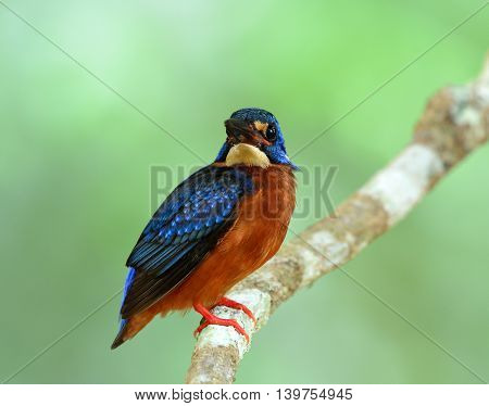 Blue-eared Kingfisher (alcedo Meninting) The Little Chubby Blue Bird Perching On The Branch In Front