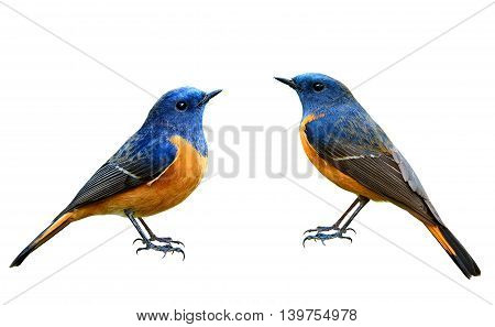 Blue-fronted Redstart (phoenicurus Frontalis) The Beautiful Blue Birds  Isolated On White Background