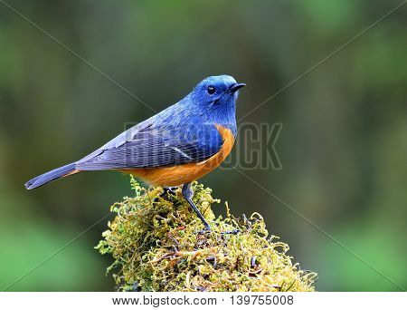 Blue-fronted Redstart (phoenicurus Frontalis) The Colorful Bird Perching On The Mossy Spot With Plen