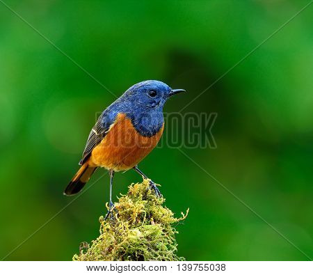 Blue-fronted Redstart (phoenicurus Frontalis) The Colorful Bird Perching On Top Of The Mossy Spot Sh