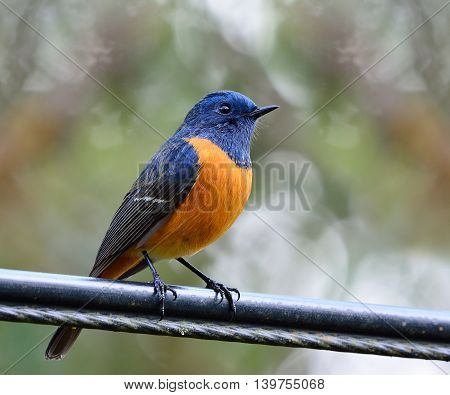 Blue-fronted Redstart (phoenicurus Frontalis) The Lonely Colorful Bird Perching On The Electric Wire