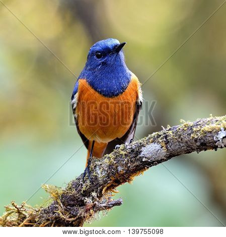 Blue-fronted Redstart (phoenicurus Frontalis) The Lovely Colorful Bird Standing On The Curv Branch S