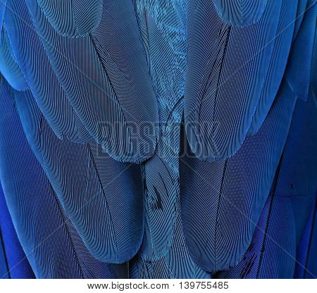 Exotic Blue Background, Feathers Of The Blue-and-yellow Macaw (ara Ararauna) In Close Up