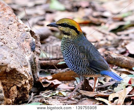 Female Of Blue Pitta (hydrornis Cyaneus) The Beautiful Grey And Pale Blue Bird Standing On The Groun
