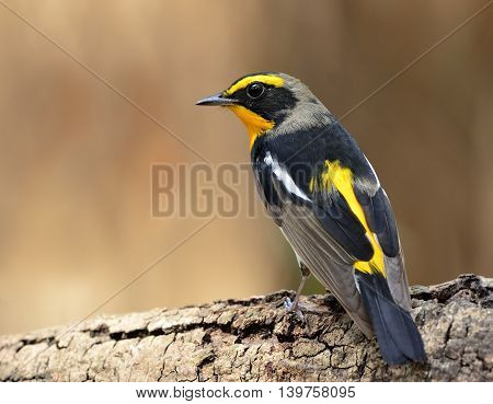 Male Of Narcissus Flycatcher (ficedula Zanthopygia) The Beautiful Yellow With Black And Grey Color S
