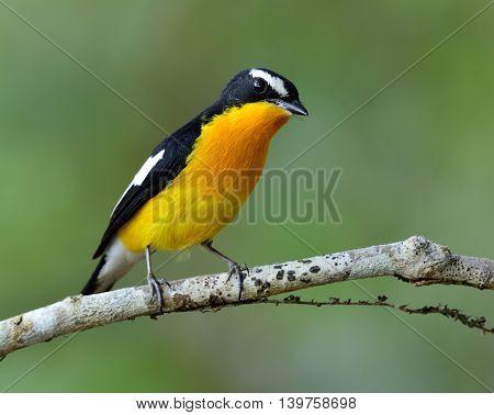 Male Of Yellow-rumped Flycatcher (ficedula Zanthopygia) The Beautiful Yellow Bird Perching On The Br