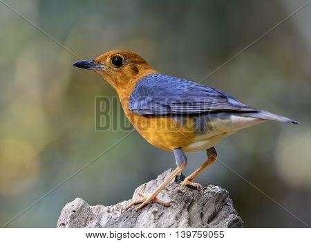 Orange-headed Thrush (geokichla Citrina) The Beautiful Orange And Grey Wings Bird Perching On Top Of