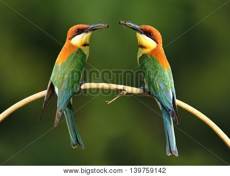 Pair Of Chestnut-headed Bee-eater (merops Leschenaulti) Beautiful Orange Head, Green Wings And Blue