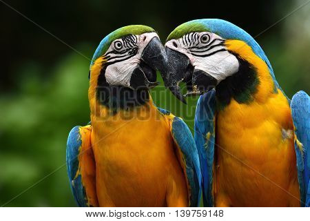 Pair Of Lovely Blue-and-yellow Macaw Parrot Birds (ara Ararauna) Known As The Blue-and-gold Macaw Si