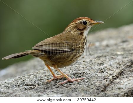 Puff-throated Babbler (pellorneum Ruficeps) The Beautiful Brown Birds Standing On The Rock