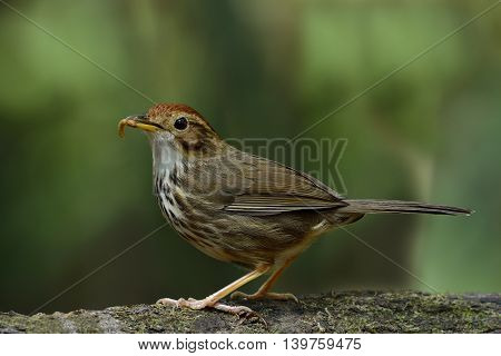 Puff-throated Babbler (pellorneum Ruficeps) The Lovely Brown Birds Standing On The Log Showing Its W