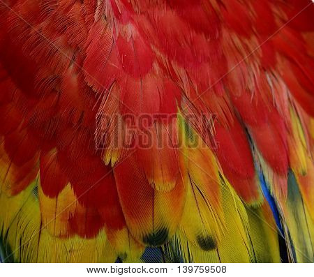 Red And Yellow Background Pattern Of Scarlet Macaw Parrot's Wing, The Beautiful Texture