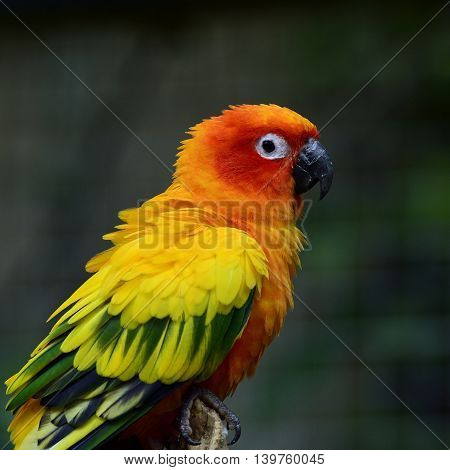 Sun Parakeet Or Sun Conure (aratinga Solstitialis) The Lovely Yellow And Orange Parrot Bird With Puf