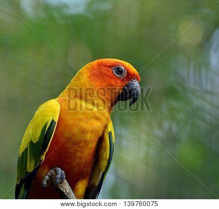 Sun Parakeet Or Sun Conure (aratinga Solstitialis) The Lovely Yellow Parrot Bird Perching On The Sti