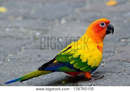 Sun Parakeet Or Sun Conure (aratinga Solstitialis) The Lovely Yellow With Green And Blue Feathers Pa