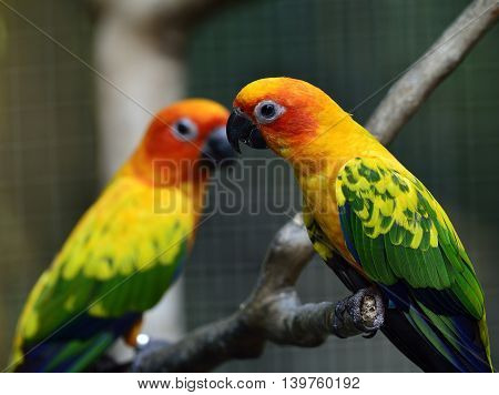 Sweet Pairs Of Sun Parakeet Or Sun Conure (aratinga Solstitialis) The Lovely Yellow With Green And B