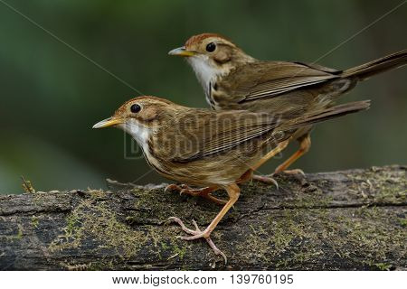 Sweet Pair Of Puff-throated Babbler (pellorneum Ruficeps) The Lovely Brown Birds Standing Together O