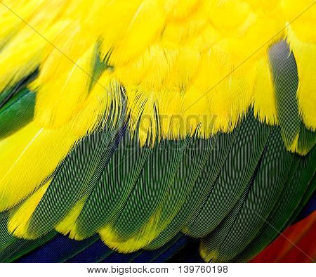 Texture Of Sun Conure Parrot Bird Feathers, Yellow Green Blue And Orange Bird Feathers Background