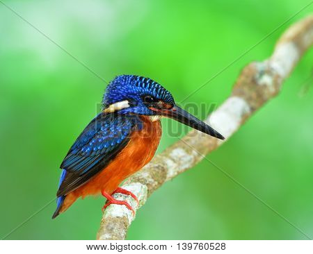 The Beautiful Male Of Blue-eared Kingfisher (alcedo Meninting) A Little Blue Bird Lonely Sitting On