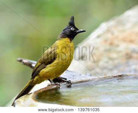 The black-crested bulbul (Pycnonotus flaviventris) the beautiful yellow bird with black head and spike air perching on the side pool