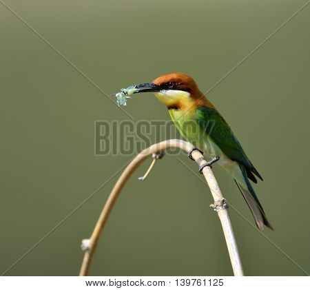 The chestnut-headed bee-eater (Merops leschenaulti) the beautiful orange head green body and blue tail bird perching on the curve branch on nice blur gackground