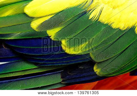 The dirty texture of Sun Conure parrot bird feathers yellow green blue and orange bird feathers