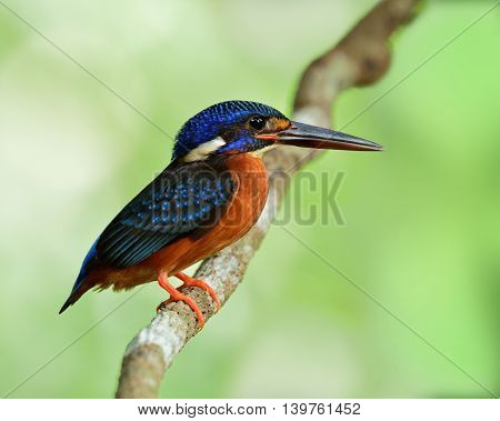 The Female Of Blue-eared Kingfisher (alcedo Meninting) A Little Beautiful Blue Bird Perching On The