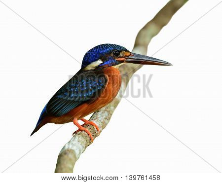 The Female Of Blue-eared Kingfisher (alcedo Meninting) The Beautiful Blue Bird Standing On The Vine