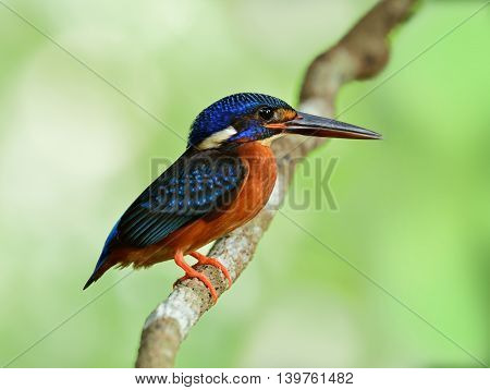 The Female Of Blue-eared Kingfisher (alcedo Meninting) The Tiny Beautiful Blue Bird Standing On The