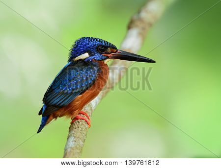 The Male Of Blue-eared Kingfisher (alcedo Meninting) A Little Beautiful Blue Bird Perching On The Br