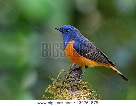 The Male Of Blue-fronted Redstart (phoenicurus Frontalis) The Colorful Bird Perching On The Mossy Br