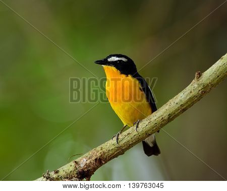 Yellow-rumped Flycatcher (ficedula Zanthopygia) The Beautiful Yellow Bird Perching On The Branch Wit