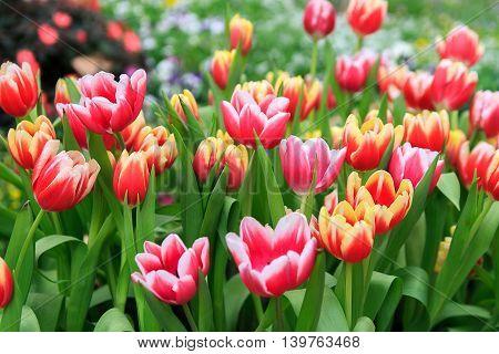 beautiful Colorful tulips in a garden field