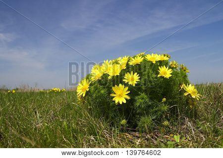 Blossom of False hellebore Adonis vernalis medicinal herb