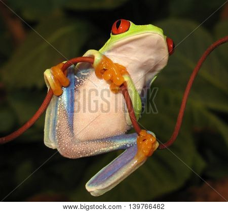 Red eye tree frog on curved vine looking up, showing bright colors with natural leafy background.